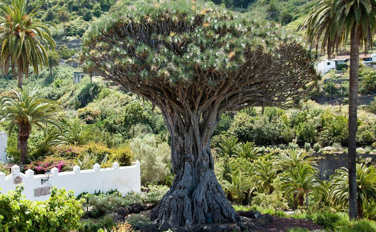 que ver en Tenerife: Drago gigante